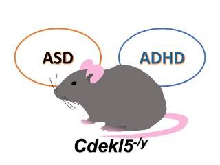 発達障害モデルマウスの研究